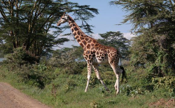 giraffes-in-africa
