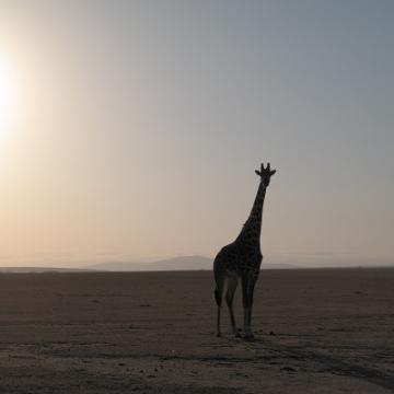 giraffe verkleind 2