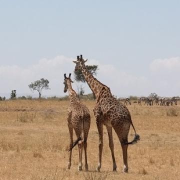 giraffe verkleind